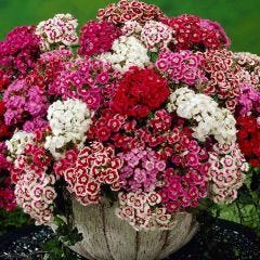 Sweet William Mixed