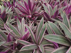 Tradescantia Spathacea 'Sitara' House Plant
