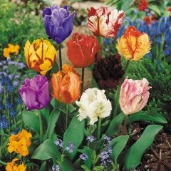 Parrot Tulip Mixed