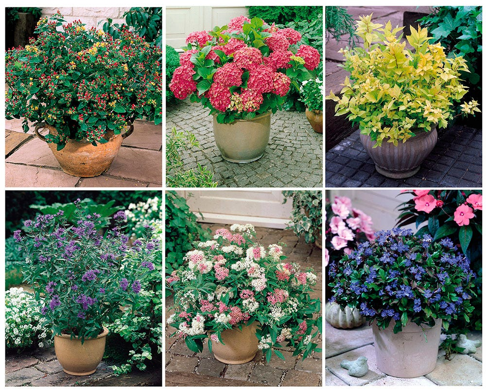 Image of Dwarf Flowering Shrubs Collection