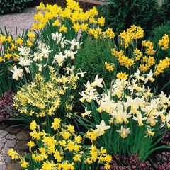 Dwarf Rockery Narcissi Mixed