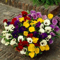 Pansy Winter/Spring Selection Mixed