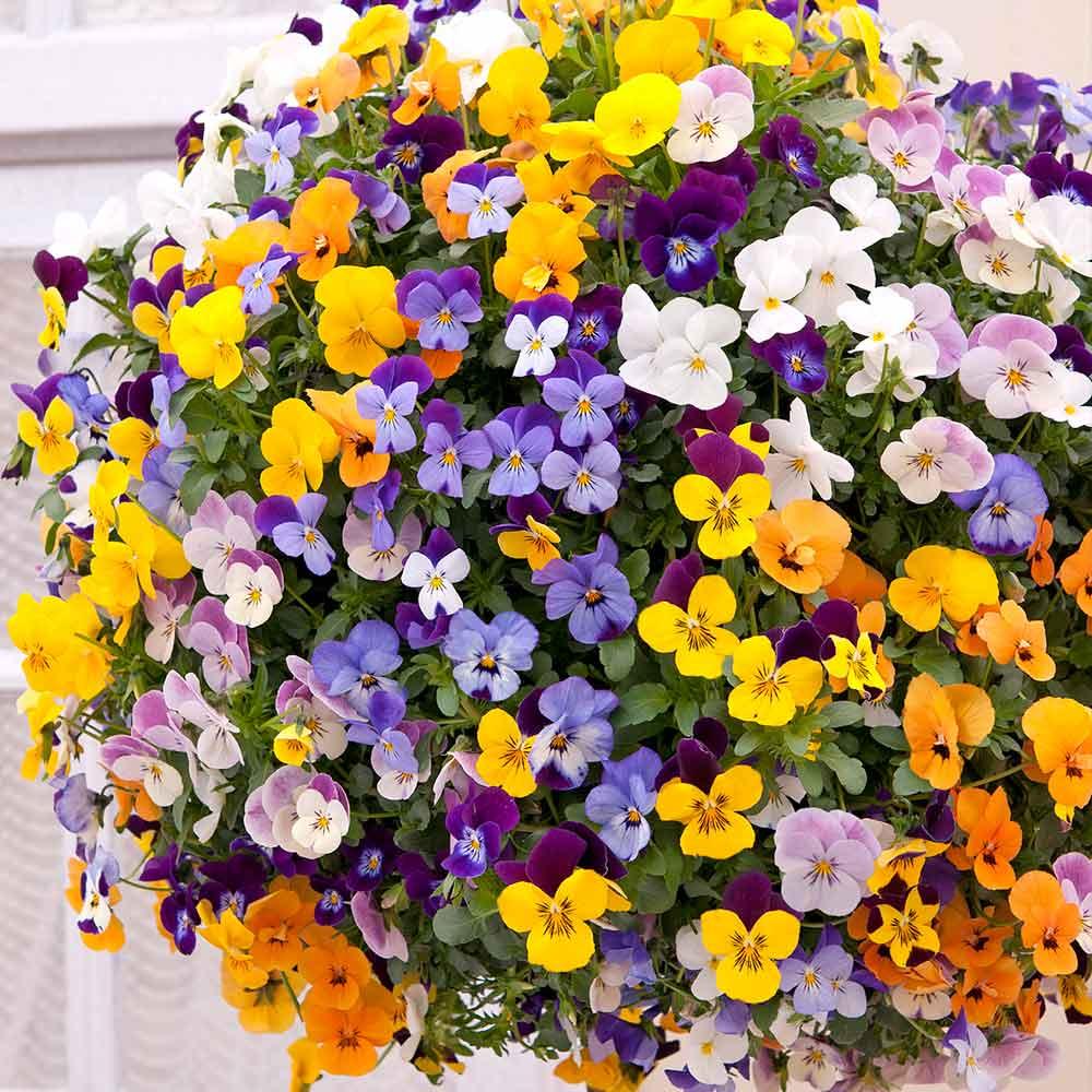 Image of Fragrant Trailing Viola Teardrops-60 Pack