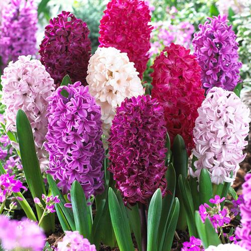 Hyacinth Passion