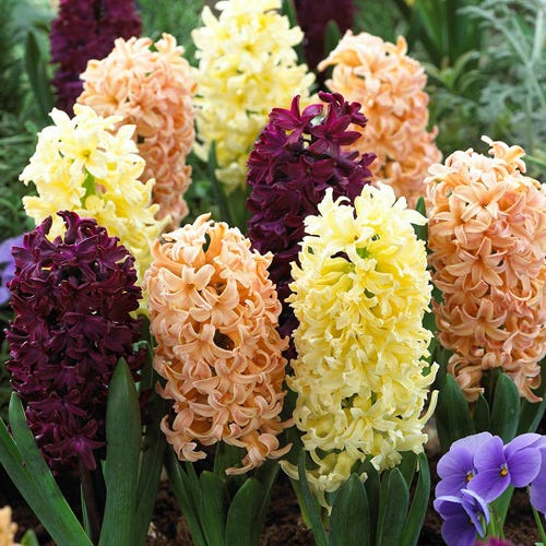 Hyacinth Autumn Colours Mixed