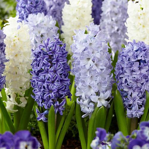 Hyacinth Fragrant Sea