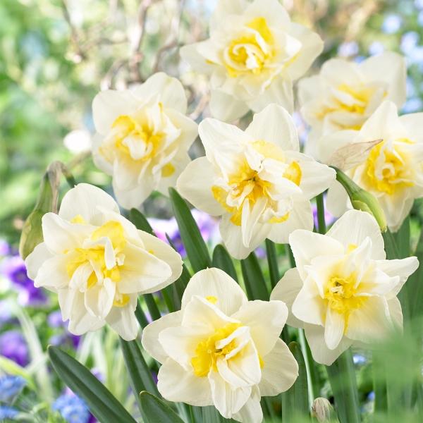 White Lion Narcissus