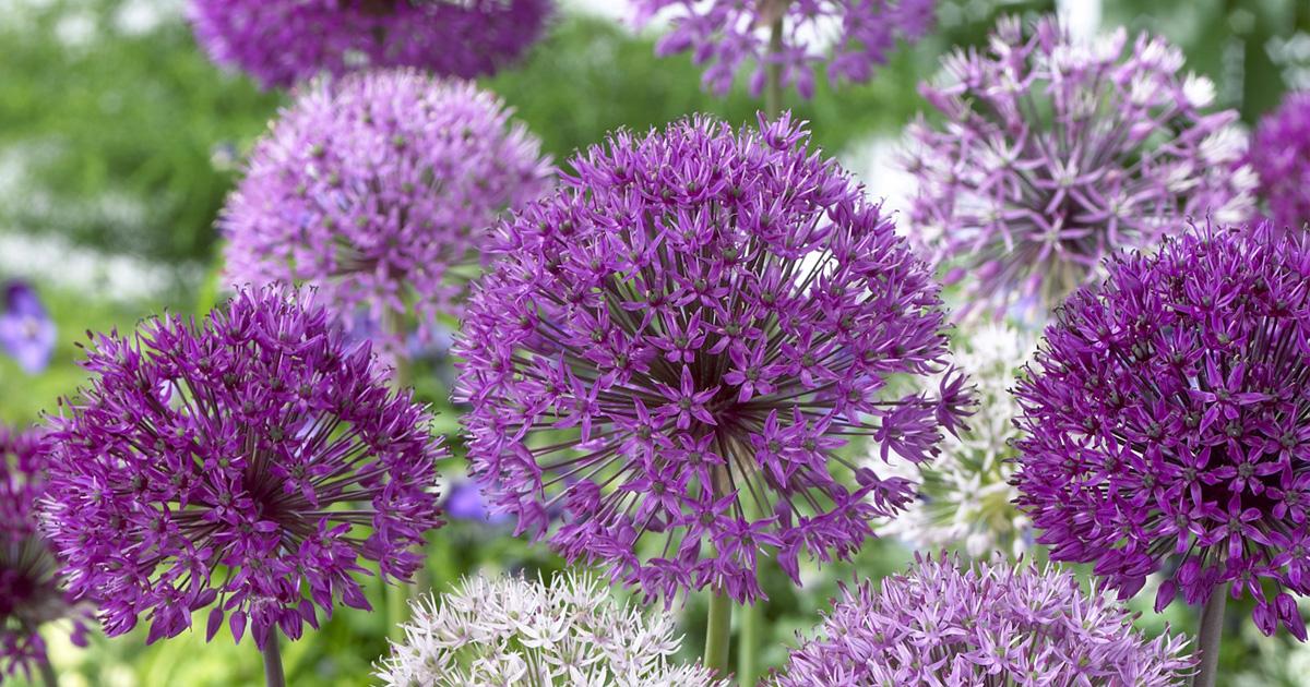 Allium Superglobe
