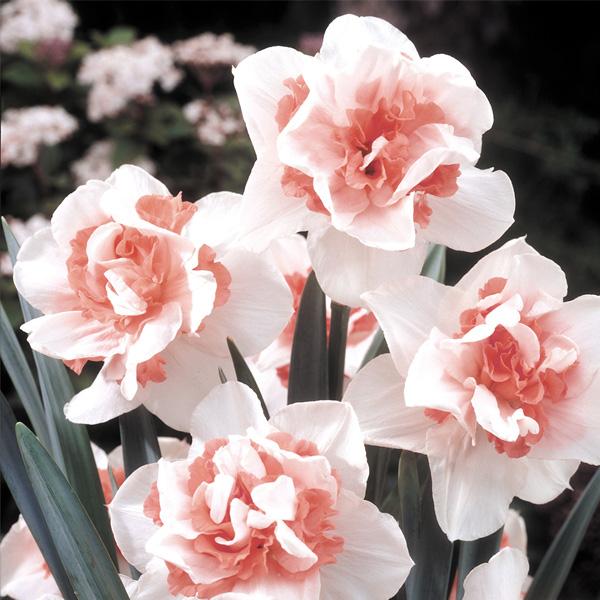 Daffodil Replete