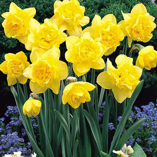 Dick Wilden Daffodil