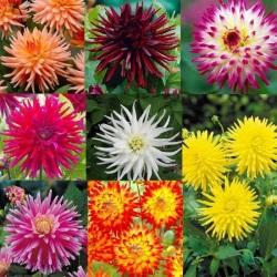 8 Dahlia Cactus Collection
