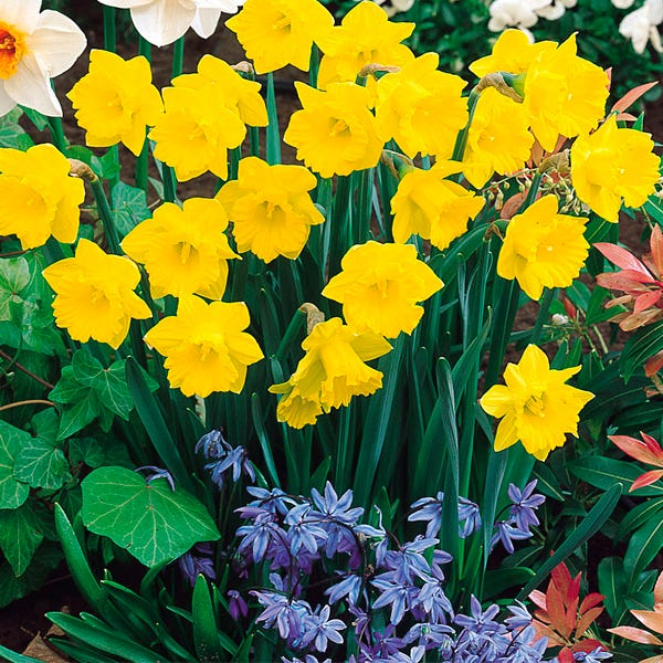 Tenby Daffodil