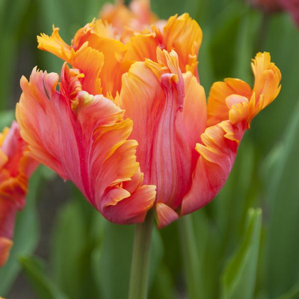 Tulip Amazing Parrot