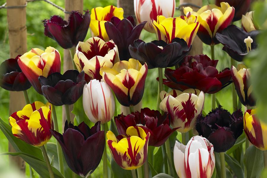 Burgundy Tulip