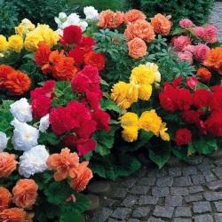 15 Non-stop Begonia Collection